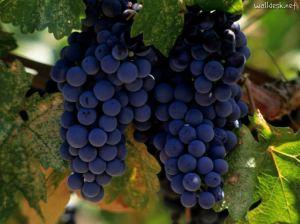 Merlot-Vineyard,-Napa-Valley,-California